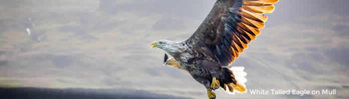 mull eagle1